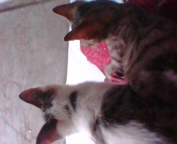 Ini dua anak kucing kampung yang sempat kupelihara.. Yang coklat mati  T_T